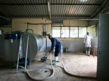Delivery and processing of milk at the Tanykina Dairy plant.