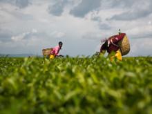 Koisagat tea plantation.